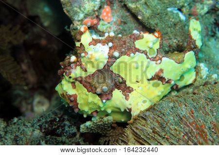 Clown Frogfish (Antennarius Maculatus aka Warty Frogfish). Padang Bai Bali Indonesia