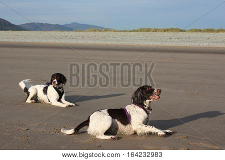 Two Pretty Liver And White Working Type English Springer Spaniel Pet Gundogs