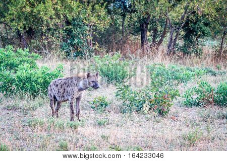 Spotted Hyena In The Grass.