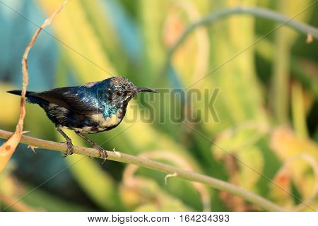 Purple Sunbird Wildlife on Aloe Vera Plant