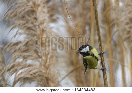 Great Tit (Parus Major) perched on a stalk