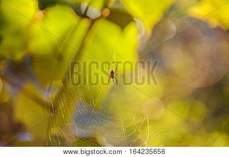 Spider On Spiderweb, Sun Rays, Gradient Bokeh Background, Close Up