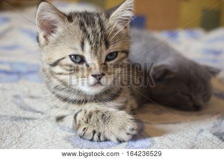 Pet pretty small British cats and kittens asleep