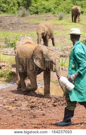 Feeding Baby Elephants In Nairobi, Kenya, Editorial