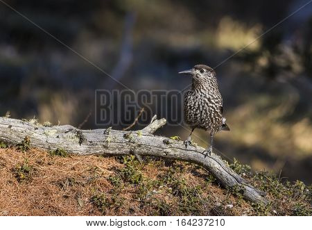 Bird in the forest in Pontresina in Switzerland