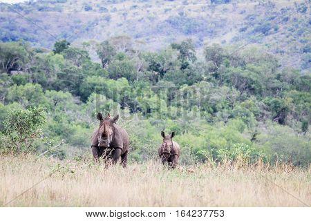 Mother And Baby White Rhino.