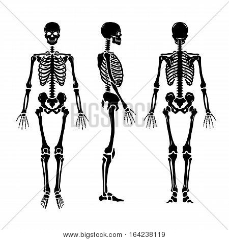 Anatomical human skeleton in three positions. Vector illustration.