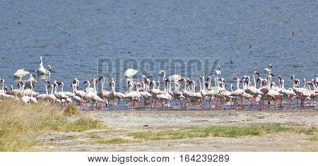 Flamingos at the shore of Lake Bogoria in Kenya.