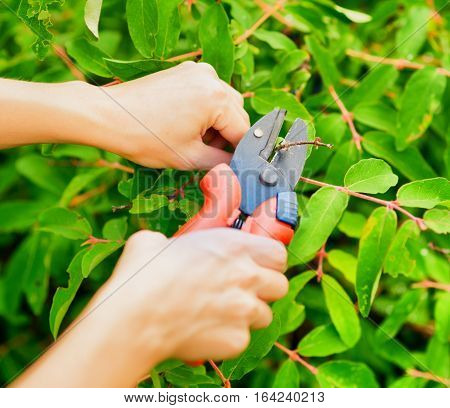 Pruning Leaves With Garden Pruner