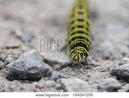 Black Swallowtail Caterpillar Head