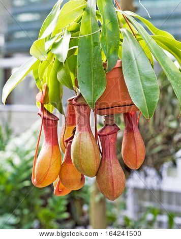 Nepenthes burkei is a tropical pitcher plant native to the Philippine