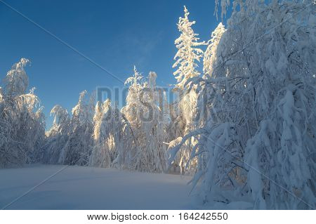 Sunny Day In Forest, Ural Mountains, Winter Forest, Russian Nature, Pine Trees In Snow.
