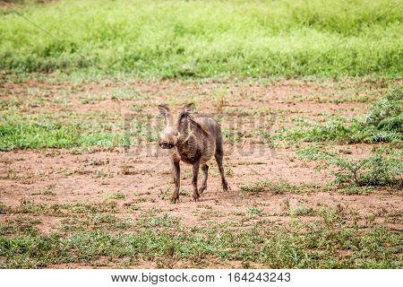 Warthog Starring At The Camera.