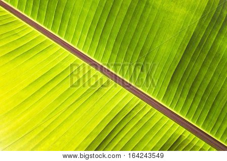 Texture abstract background of back light fresh green banana tree leaves. Macro image beautiful vibrant tropical pointy leaf foliage plant background