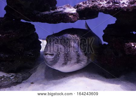 Puffer fish on the bottom among stones