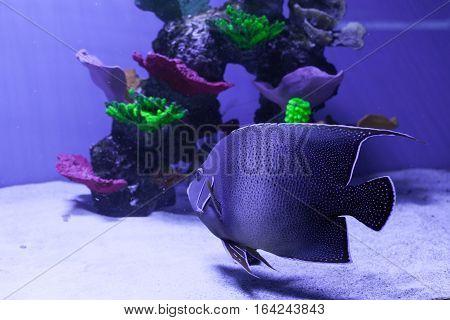 Gray semicircle angelfish in aquarium. Pomacanthus semicirculatus