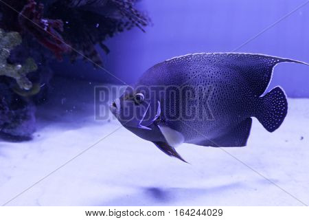 Semicircle angelfish on the bottom. Pomacanthus semicirculatus