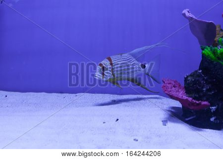 Snapper fish swimming in the sea. Symphorichthys spilurus