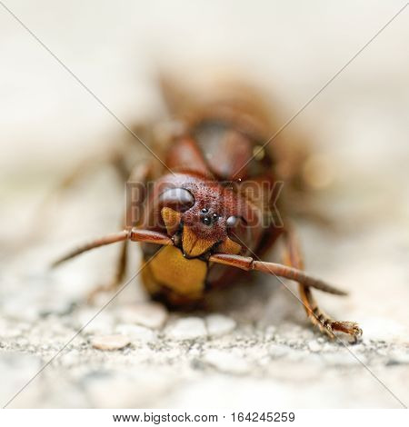 european hornet closeup extreme head eyes magnification