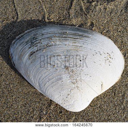 Clam Shell On Sand On Beach