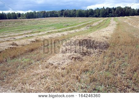 Rural landscape with many long rows of sloped dry hay, receding into the distance after harvest on field on a summer day