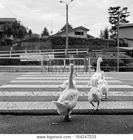 Family of geese crossing the pedestrian crossing