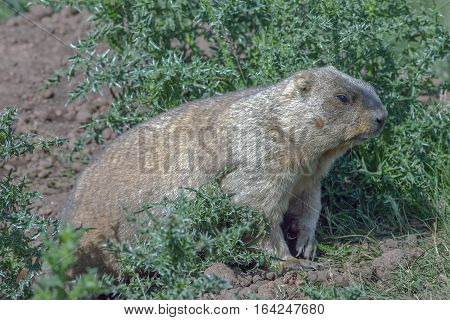 Graceful Steppe Marmot