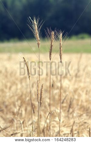 Landscape with ears of ripe rye on rural field again green forest on summer day, vertical view closeup