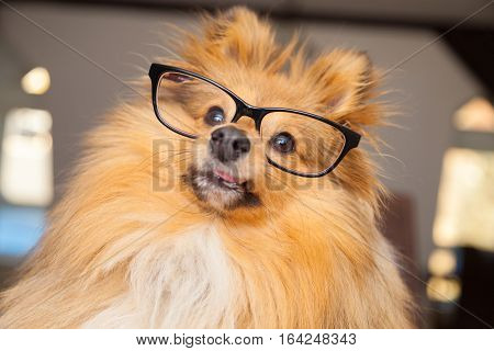 brown Shetland Sheepdog looks through a pair of glasses