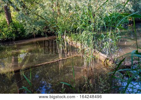 Image taken on a sunny day in the summer season in the Dutch National Park De Biesbosch with a tree branch and trunk fallen in the creek. Young fresh green reeds are reflected in the mirror smooth water surface.