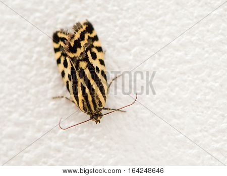 the leopard moth on the white wall