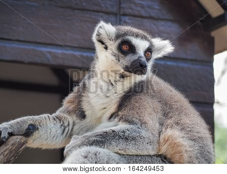 Close Up of Ring-Tailed Lemur (Lemur catta)