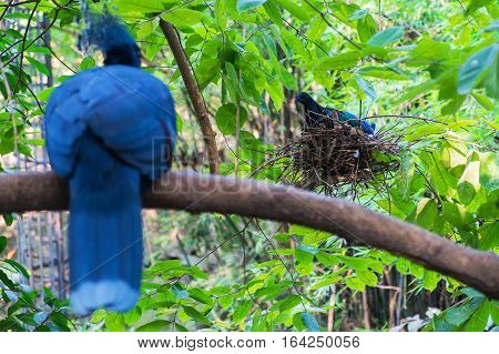 Birds on the tree Bird is hatching Bird is in the bird's nest Bird's nest Victoria crowned pigeon