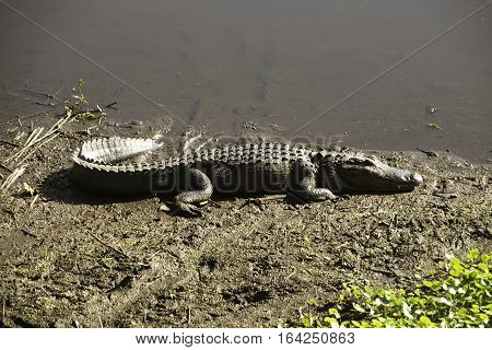 Alligator at Paynes Prairie State Park in Florida.