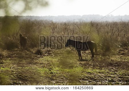 Wild Horse at Paynes Prairie State Park in Florida.`