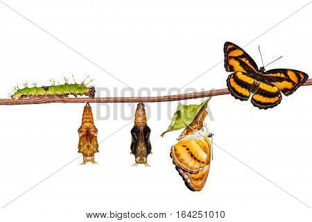 Isolated Life Cycle Of Colour Segeant Butterfly On Twig