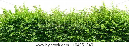 Green long hedge isolated on white background
