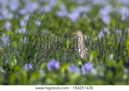 Indian pond heron in Pottuvil nature reserve, Sri Lanka ; specie Ardeola grayii family of Ardeidae