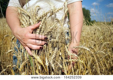 Young woman with beautiful manicure cuddle ripe ears of rye on field on sunny summer day under blue sky with white clouds. Photo closeup