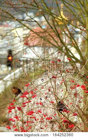 Fat brown birds in viburnum berries (guelder rose) bush in winter. Shallow focus town background.