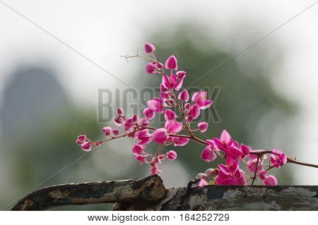 Antigon flowers on the old steel fence with brilliant background