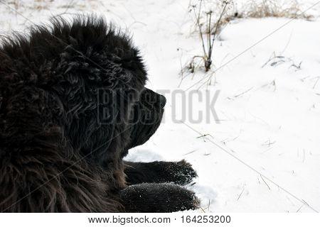 Old Newfoundland dog lying outdoors on winter.