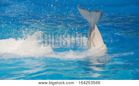 Beluga tail on a blue background swimming pool with diving