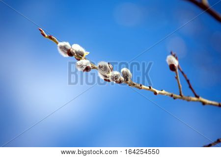 Willow branch with bushy sprouts blossom against clear blue sky in spring. Horizontal view on blur background closeup