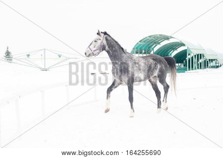 Andalusian thoroughbred gray horse in winter field in motion on the background of the nursery. Multicolored winter horizontal image outdoors.