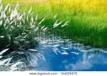 Kans grass Saccharum spontaneum and water reflection of sky Kolkata West Bengal India - welcoming autumn in the city.