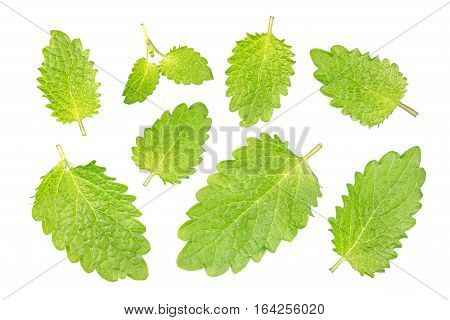 Lemon melissa leaf closeup isolated on white, with clipping path
