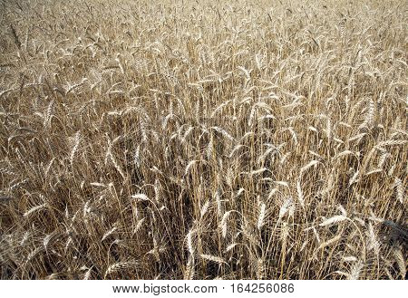 Ripe golden ears of rye on the in summer sunny day as background. Photo closeup