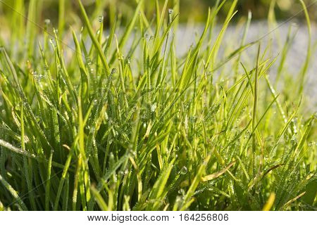 Background image of morning drops in the grass.
