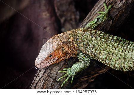 Close-up photo of a Northern caiman lizard (Dracaena guianensis).